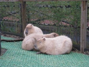 fuji-safari-petting2