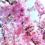 河津桜は今が見頃☆東京・神奈川で早咲きの桜が見られる場所
