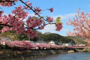 cherry-blossoms3