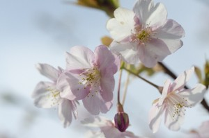 cherry-blossoms4