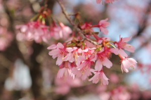 cherry-blossoms5