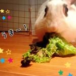 知っておきたいうさぎの食べ物*与えてもよい野菜と有毒野菜