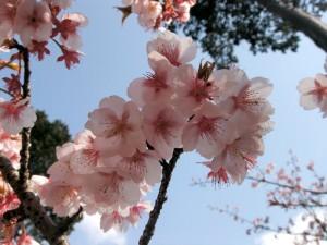 cherry-blossom-okazaki2