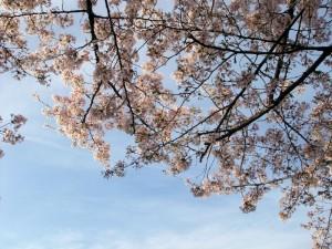 cherry-blossom-okazaki3