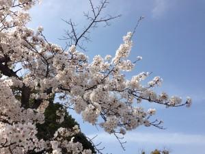 cherry-blossom-walking2