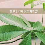 ミニ観葉植物を1mに育てた夫に聞いた!簡単パキラの育て方
