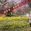 梅・水仙が満開☆特別拝観も要チェック!3月の滋賀県石山寺