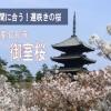 まだ間に合う遅咲きの桜!京都仁和寺の「御室桜」が珍しい!