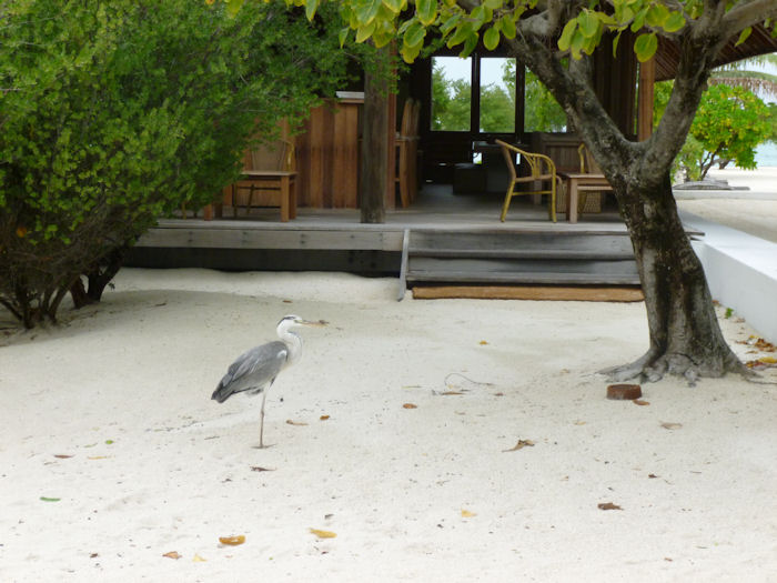 maldives-bird2
