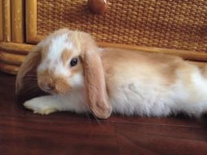 rabbit-home1