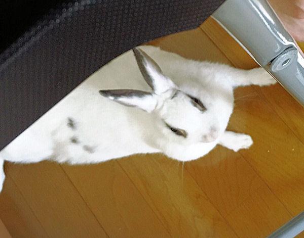 rabbit-cost1