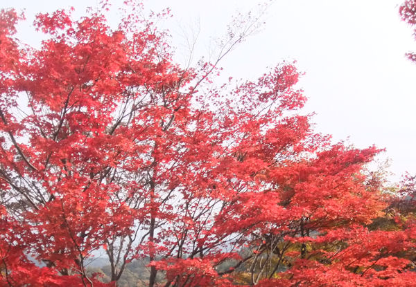 red-leaves5
