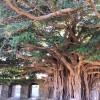 観葉植物が人気!沖縄で巨大ガジュマルの木スポットを巡ってみた